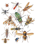 huiles essentielles et insectes