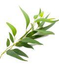 Hydrolat Eucalyptus camaldulensis kbA