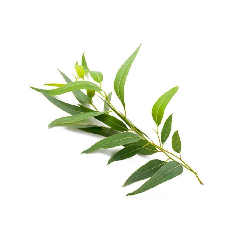 Arbre eucalyptus anti moustique plante anti moustique et remde naturel ennemis colo des - Plante qui attire les moustiques ...