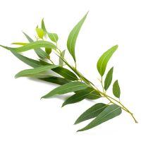 Quelle huile essentielle d'Eucalyptus choisir ?