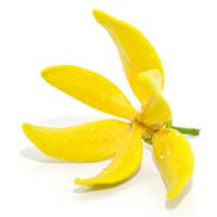 Quelle huile essentielle d'ylang ylang choisir ?
