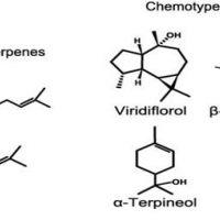 Huiles essentielles & Chémotype
